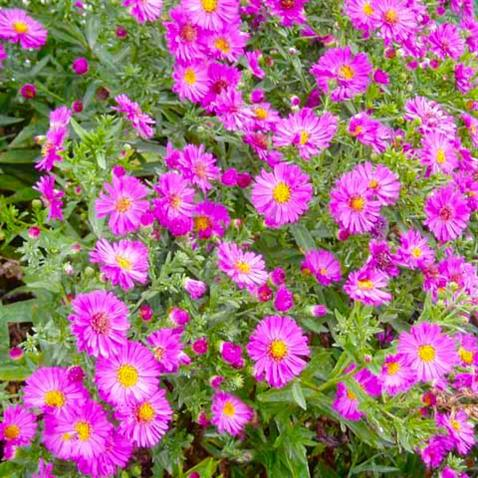 Secrist gardens fall blooming perennials - Flowers that bloom from spring to fall ...